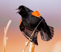 Red-winged Blackbird, Agelaius phoeniceus, Battelle Darby Metro Park, Franklin County, Ohio, March 9, 2021