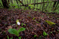 Pink Lady's-slipper, Cypripedium acaule, white-flowered form, Scioto County, Ohio, May 5, 2021 (9)