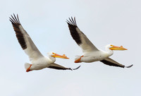 American White Pelican, Pelecanus erythrorhynchos. Goose Pond, Indiana. March 13, 2016