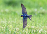 Barn Swallow, Hirundo rustica, Don Scott Airport, Franklin Co., OH June 7, 2019 (1)
