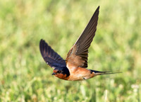 Barn Swallow, Hirundo rustica. Franklin County, Ohio. June 7, 2019 (2)