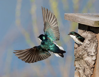 Tree Swallow, Tachycineta bicolor (2)