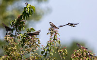 Tree Swallow, Tachycineta bicolor, eating Cornus racemosa fruit