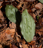 Putty-root, Aplectrum hyemale, winter leaves. Adams County, Ohio, March 2, 2019