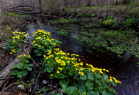 Marsh-marigold, Caltha palustris, Champaign County, Ohio, April 13, 2019 (2)