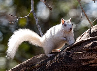 Gray Squirrel, white morph, Brevard, North Carolina, March 19, 2019 (2)