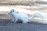 Gray Squirrel, white morph, Brevard, North Carolina, March 19, 2019