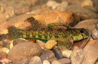 Greenside Darter, Etheostoma blennioides, Mottled Sculpin in back, Scioto County, Ohio, May 25, 2020