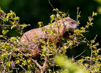 Woodchuck, Marmota monax, in White Mulberry tree, Lucas Co., Ohio, May 13, 2019