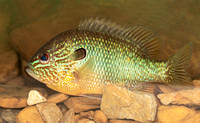 Longear Sunfish, Lepomis megalotis, Scioto County, Ohio, May 25, 2020
