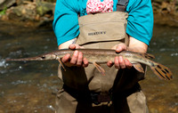 Longnose Gar, Episosteus osseus, Scioto County, Ohio, May 25, 2020 (3)