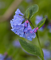 Virginia Bluebells, Mertensia virginica, Adams County, Ohio, April 10, 2019