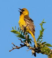 Orchard Oriole, Icterus spurius, first-year male, Franklin County, Ohio, May 31, 2020