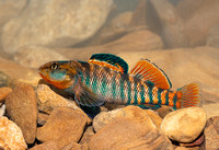 Rainbow Darter, Etheostoma caeruleum, Scioto County, Ohio, April 16, 2019