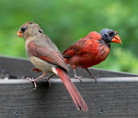Northern Cardinal, Cardinalis cardinalis, feather mites, Franklin County, Ohio, June 24, 2020 (3)