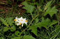 Horse-nettle, Solanum carolinense, Warren County, Ohio, August 30, 2019