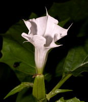 Jimsonweed, Datura stramonium, Hamilton County, Ohio, September 16, 2020