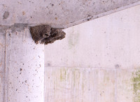 Cliff Swallow nests, Olentangy River, Franklin County, Ohio, December 17, 2020