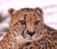 Cheetah, Acinonyx jubatus, captive, The Wilds, Muskingum County, December 19, 2020