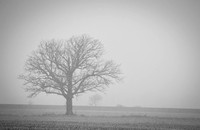 Oak in agricultural field, Delaware County, Ohio, January 17, 2021