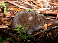 Meadow Vole, Microtus pennsylvanica, Lucas County, Ohio, May 13, 2018