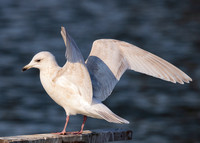 Iceland Gull, Larus glaucoides, 2nd cycle, Cuyahoga County, Ohio, February 20, 2021