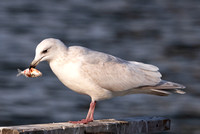 Iceland Gull, Larus glaucoides, 2nd cycle, with gizzard shad, Cleveland, Cuyahoga County, Ohio, February 20, 2021 (23)